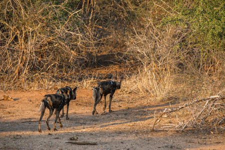 A pack of wild dogs walks off into the bush in Kruger National Park, South Africa.