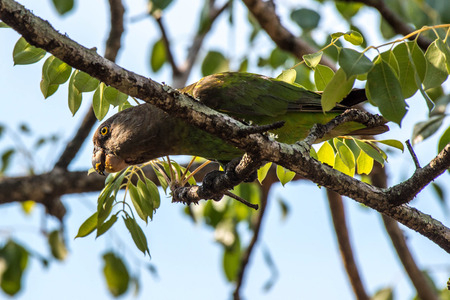 A brown headed parrot eats marula fruit in Kruger National Park, South Africa. Stock fotó