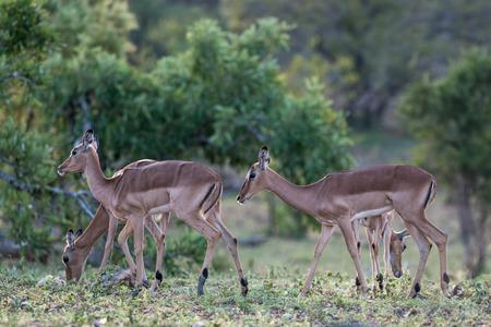 A group of impala n Kruger National Park, South Africa. Stock fotó