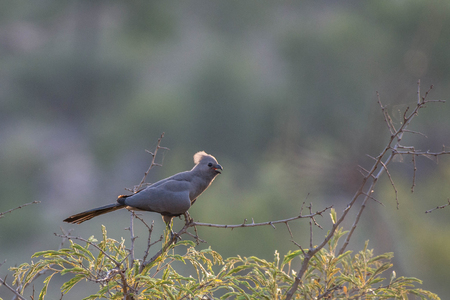 A Grey Go Away Bird sits in a tree branch, captured in South Africa, Kruger National Park. Stock fotó
