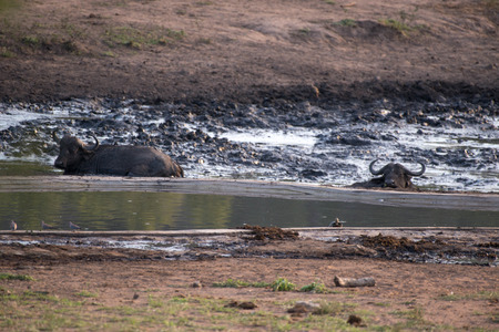 full length herbivore: A group of Cape Buffalo cooling off  in the mud n Kruger National Park, South Africa. Stock Photo