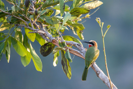 A white fronted bee eater sits in a tree.  Captured in Kruger National Park South Africa.