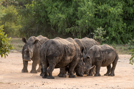 A group of rhinos n Kruger National Park, South Africa.