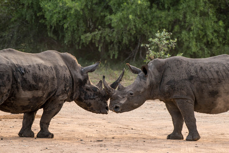 africa kiss: A pair of rhinos appear as if they are kissing one another. Stock Photo