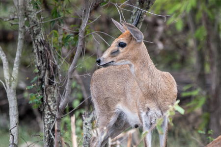 kruger national park: A small Duiker located in Kruger National Park, South Africa. Stock Photo
