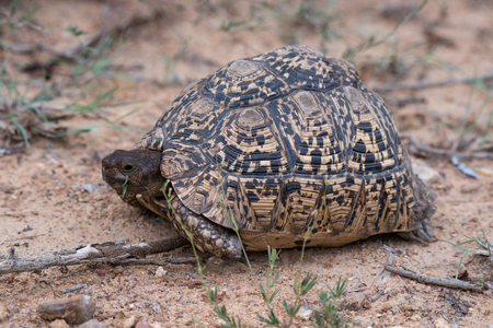 A leopard tortoise relaxing in Kruger National Park, South Africa. Stock fotó