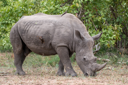 A large rhinocerouse grazing in Kruger National Park, South Africa.