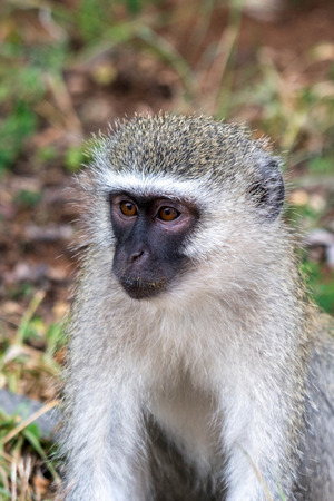 A cute vervet monkey face looking off to the left.