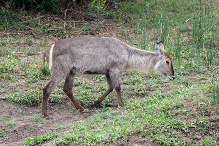 A female waterbuck walking off to the right.