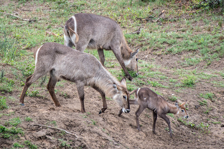 A small family of waterbuck in Kruger National Park, South Africa.