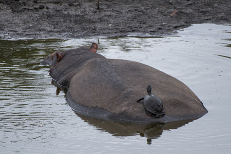 full length herbivore: A freshwater turtle rides the back of a hippo. Stock Photo