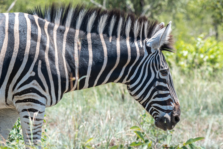 full length herbivore: A beautiful zebra located in Kruger National Park, South Africa. Stock Photo