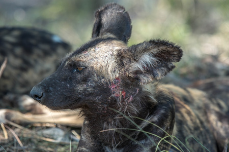 wild dog: A wild dog relaxes after a viscious fight with another pack member.