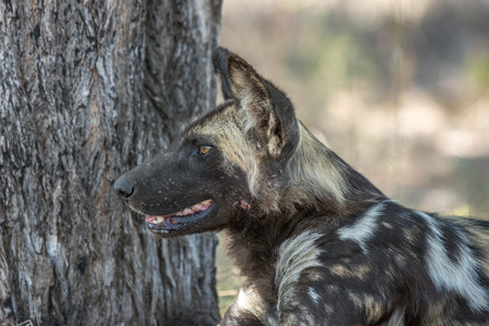 wild dog: A profile image of a painted dog, or Wild dog of Southern Africa.