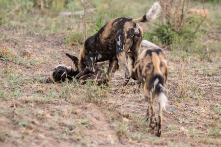 adult kenya: A small pack of Wild dogs located in Kruger National Park, South Africa. Stock Photo