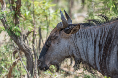 somber: A somber blue wildebeest eating some grass in Kruger National Park, South Africa.