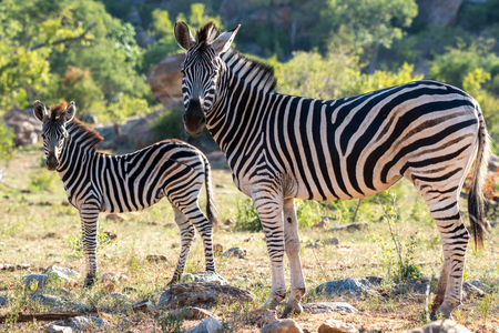 looking towards camera: A mother and baby zebra looking towards the camera. Stock Photo