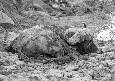 cool off: A tired and hot cape buffalo tries to cool off in some mud.