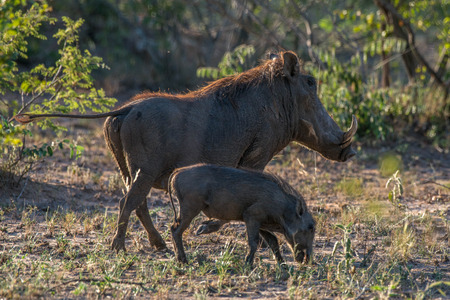 full length herbivore: A mother and baby warthog walking off into the sunset.