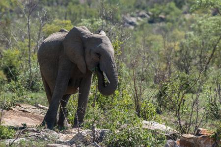 full length herbivore: A single elephant eats some vegetation in Kruger National Park, South Africa.