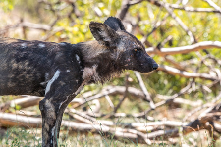 wild dog: A wild dog displays some nasty wounds from a pack disagreement.