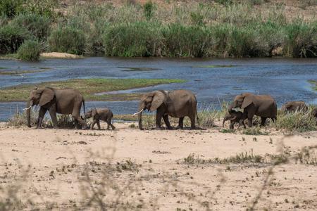 full length herbivore: A line of elephants walking alongside a river in Kruger National Park, South Africa.