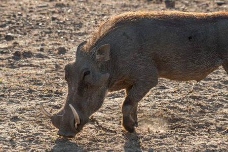 full length herbivore: A warthog searches for food during a draught in Kruger National Park, South Africa. Stock Photo