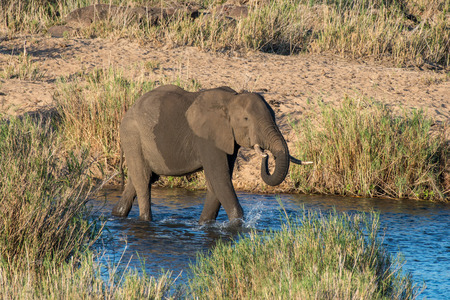 full length herbivore: An elephant enjoys some nice cool water in Kruger National Park, South Africa.