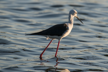 black winged stilt: A long legged black winged stilt searching for food in Kruger National Park, South Africa.