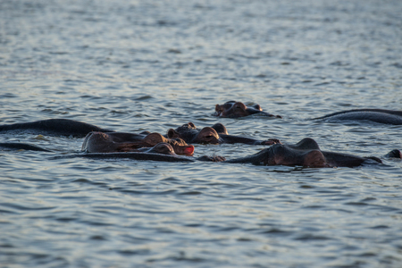 full length herbivore: A group of hippos relaxing in the cool water in Kruger National Park, South Africa.