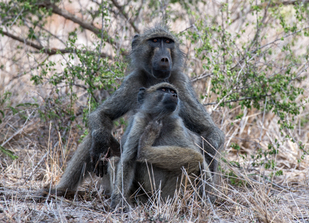 adult kenya: A pair of chacma baboons relaxing in the grass in Kruger National Park, South Africa. Stock Photo