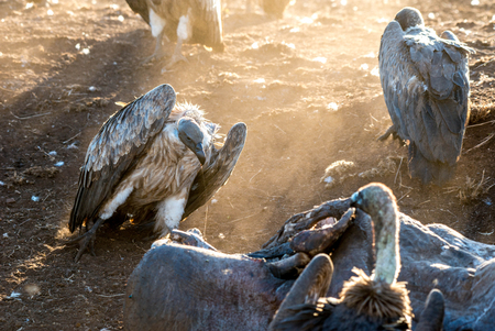 A group of vultures looking rather frightening in a golden sunset in Kruger National Park, South Africa.