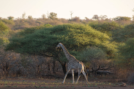 full length herbivore: A  beautiful giraffe walks along an iconic acacia tree in Kruger National Park, South Africa. Stock Photo