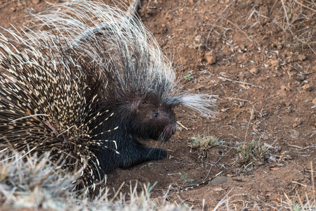 A porcupine gives the camera a warning glance in Kruger National Park, South Africa.