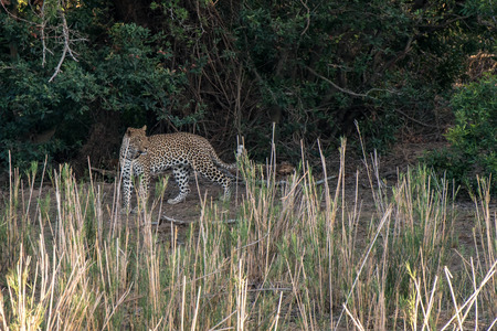 A leopard looking rather beautiful located in Kruger National Park, South Africa.