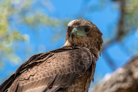 A young bataleur eagle looking rather regal in a tree in Kruger National Park, South Africa. Stock fotó
