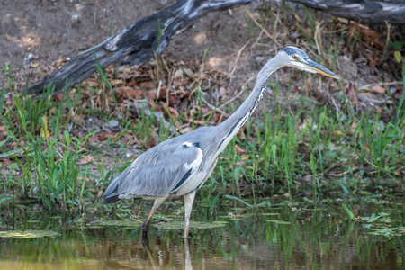 A grey heron searches for food in the water in Kruger National Park, South Africa. Stock fotó