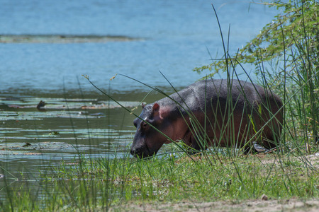 full length herbivore: A hippo feeds on the waterside in Kruger National Park, South Africa. Stock Photo