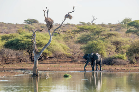 A large elephant standing by the water in Kruger National Park, South Africa.