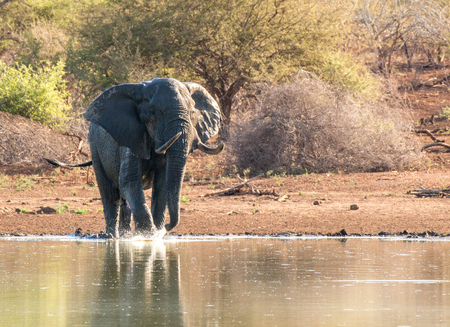 A large bull elephant having a nice bath on the waterside in Kruger National Park, South Africa.