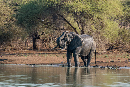 full length herbivore: A large bull elephant bathes by the waterside in Kruger National Park, South Africa. Stock Photo