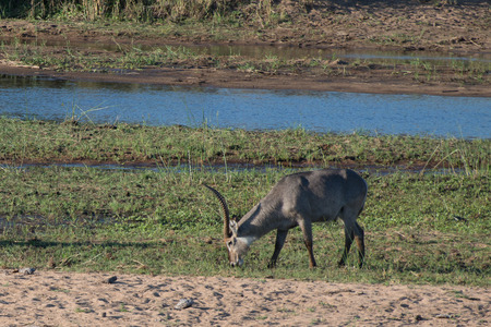 A waterbuck grazes on the shorline in Kruger National Park, South Africa. Stock fotó