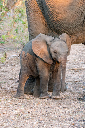 full length herbivore: A tiny and adorable baby elephant standing by his mom in Kruger National Park, South Africa.