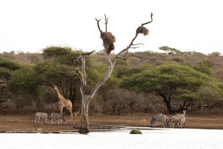 full length herbivore: A group of animals collect at the waterhole in Kruger National Park, South Africa.