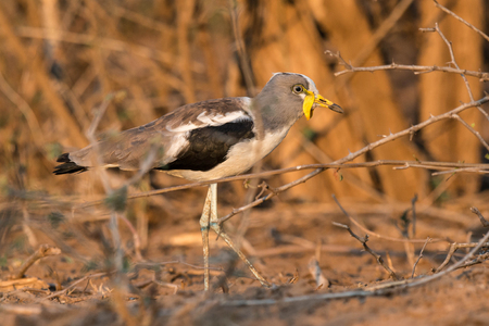 An interesting looking bird walks amidst the draught ridden landscape in Kruger National Park, South Africa.