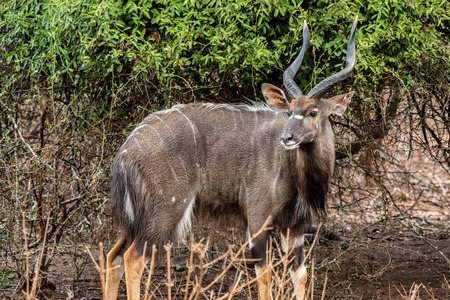 A beautifully marked male nyala enjoys a light rain in Kruger National Park, South Africa.