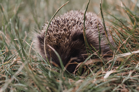 Small brown hedgehog in grassy field