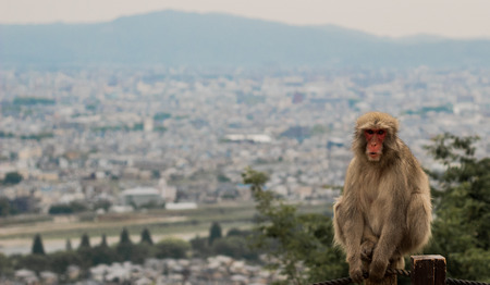 Calm Japanese Macaque monkey sits with back to Kyoto landscape in Asia with mountains in the background