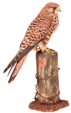 sparrowhawk: Sparrow-hawk Stock Photo