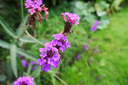 English Lavender Flowers